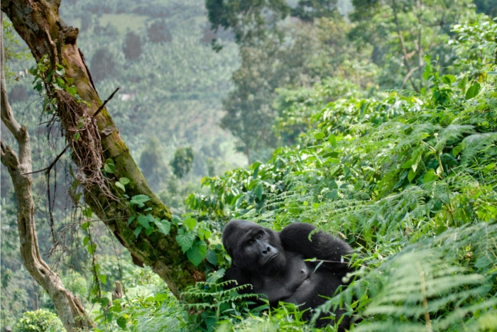 Collecting data on endangered mountain gorillas